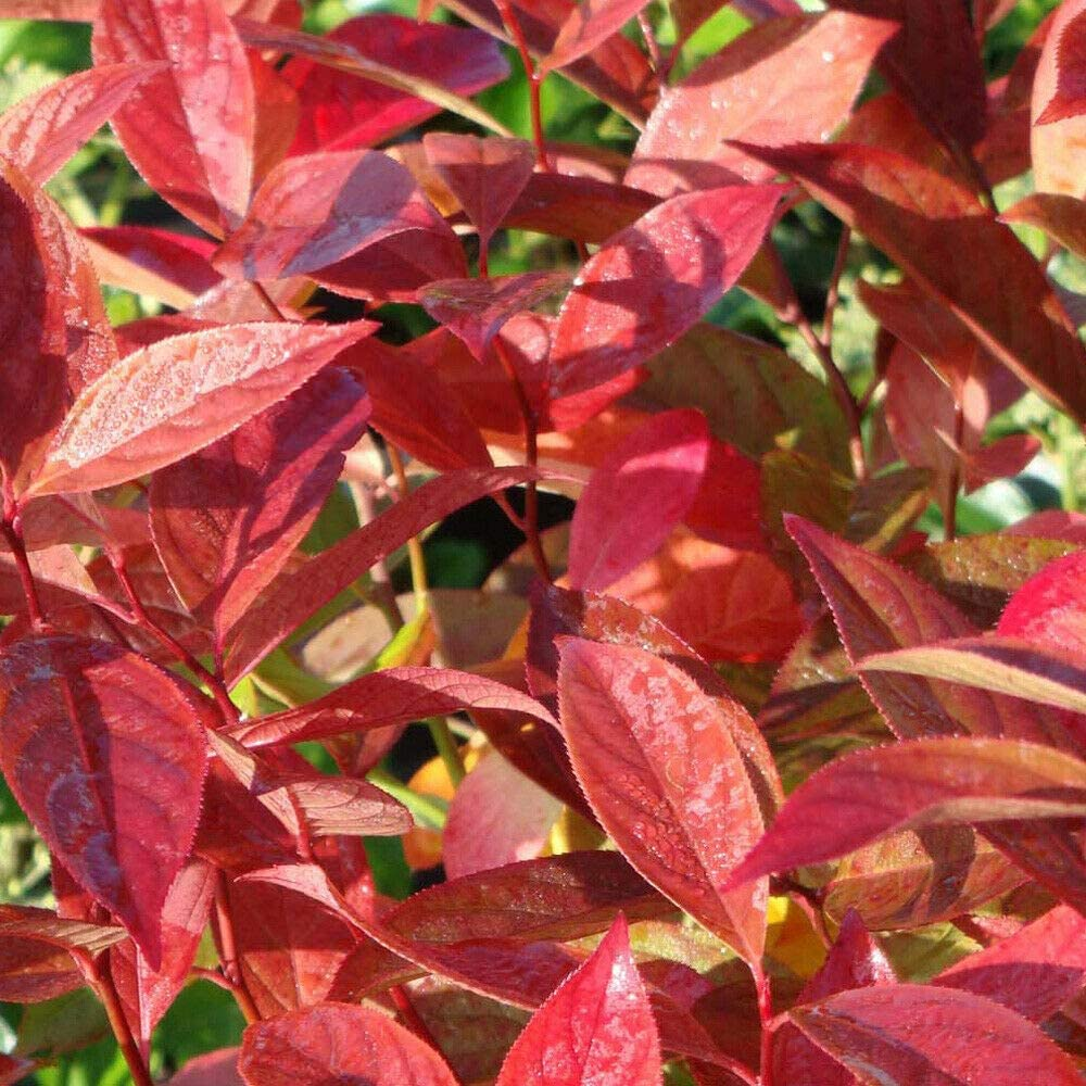 Itea Virginica Hardy Shrub Garden Plant Little Henry 1x 3.6L Pot by Thompson and Morgan 1
