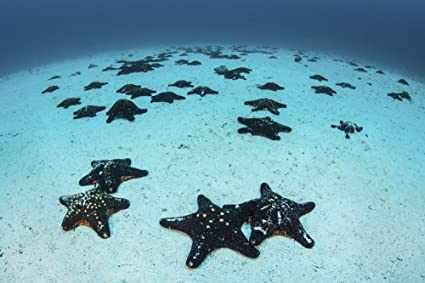 Starfish cover the sandy seafloor near Cocos Island Costa Rica This remote Pacific island is famous