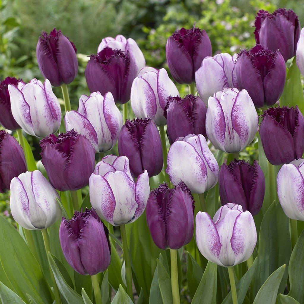 SILKSART Tulips Majestic Royal Blend Set of 15 Bulbs Tulip Bulbs for Planting Bulk Triumph Planting Spring Netherland Bulb Early bloom