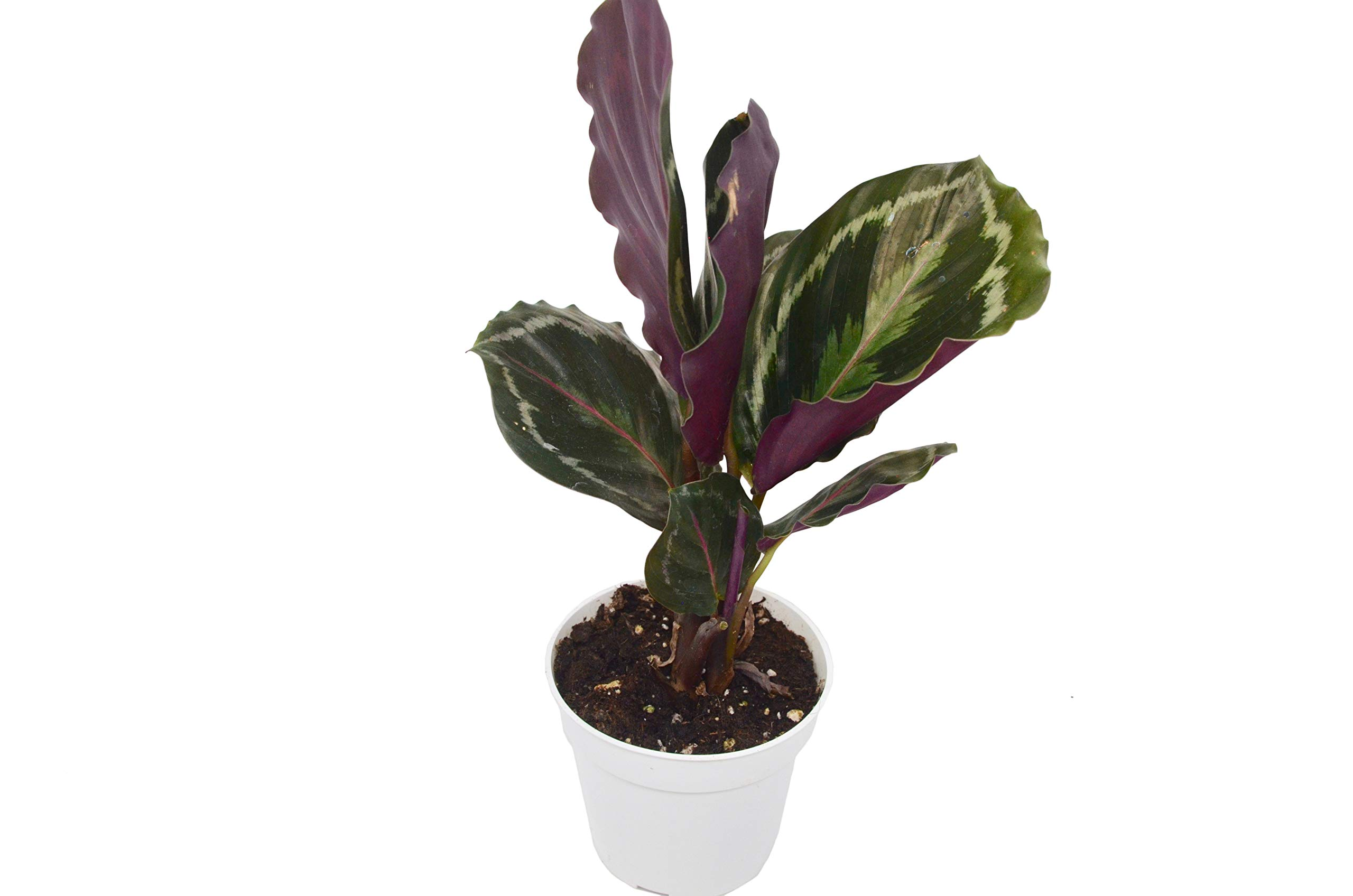Calathea 'Medallion' - Live Indoor House Plant - FREE Care Guide - 4'' Pot