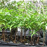 Rare NEEM Tree Azadirachta Indica, Indian Lilac Plant- 2 Plants Organic fertilized Grows Fast Herb