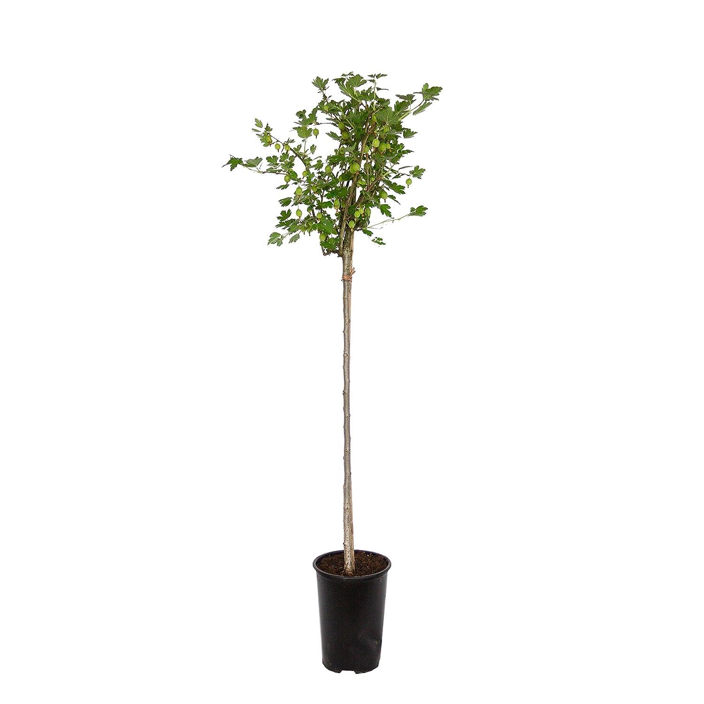 2 Liter Container 80 cm hoch ca Dominik Blumen und Pflanzen Stachelbeer-Stamm Hinnonm/äki gelb plus 1 Paar Handschuhe gratis 1 Pflanze Stachelbeere