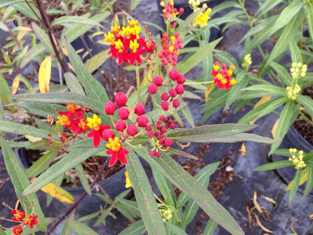 PlantVine Asclepias spp, Milkweed, Butterfly Flower - Large - 8-10 Inch Pot (3 Gallon), Live Plant by PlantVine (Image #3)