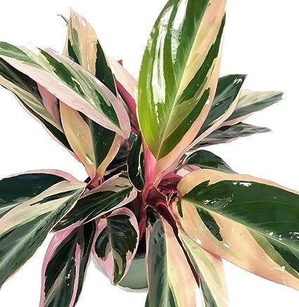 5fc7e68d8a Amazon.com   Tricolor Prayer Plant - Stromanthe triostar - Easy to ...