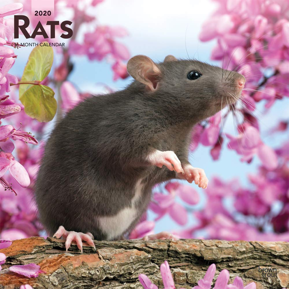 Rats 2020 12 x 12 Inch Monthly Square Wall Calendar, Domestic Animals Mouse by BrownTrout