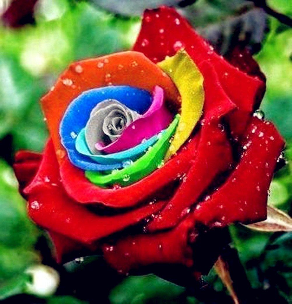 Rosa colores del arco iris - 20 semillas Xuanqin