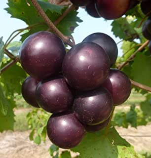 988bfc6adf3 CATTERPILLAR FARM® Sweet variety Imported,Big Red Muscadine Grape,Red Grape  20 Seeds