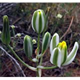 "Pilea Species Dark Mystery Rare Plant  2/"" Pot Peperomia Begonia Terrarium"