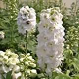 Rittersporn (Delphinium cultorum 'Pure white') WEISS