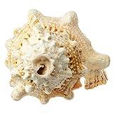 Frog Shell Horn | 1 Frog Shell Horn Sea Shell