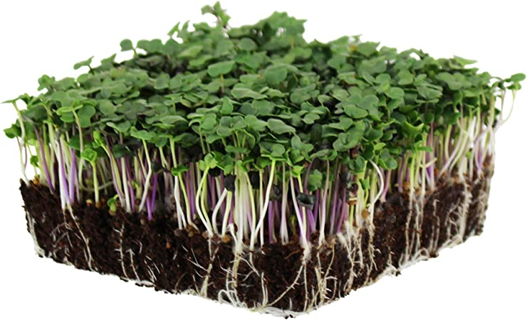 Microgreens Spicy Shamrock salad sprout seeds 2 types of clover NON GMO Organic