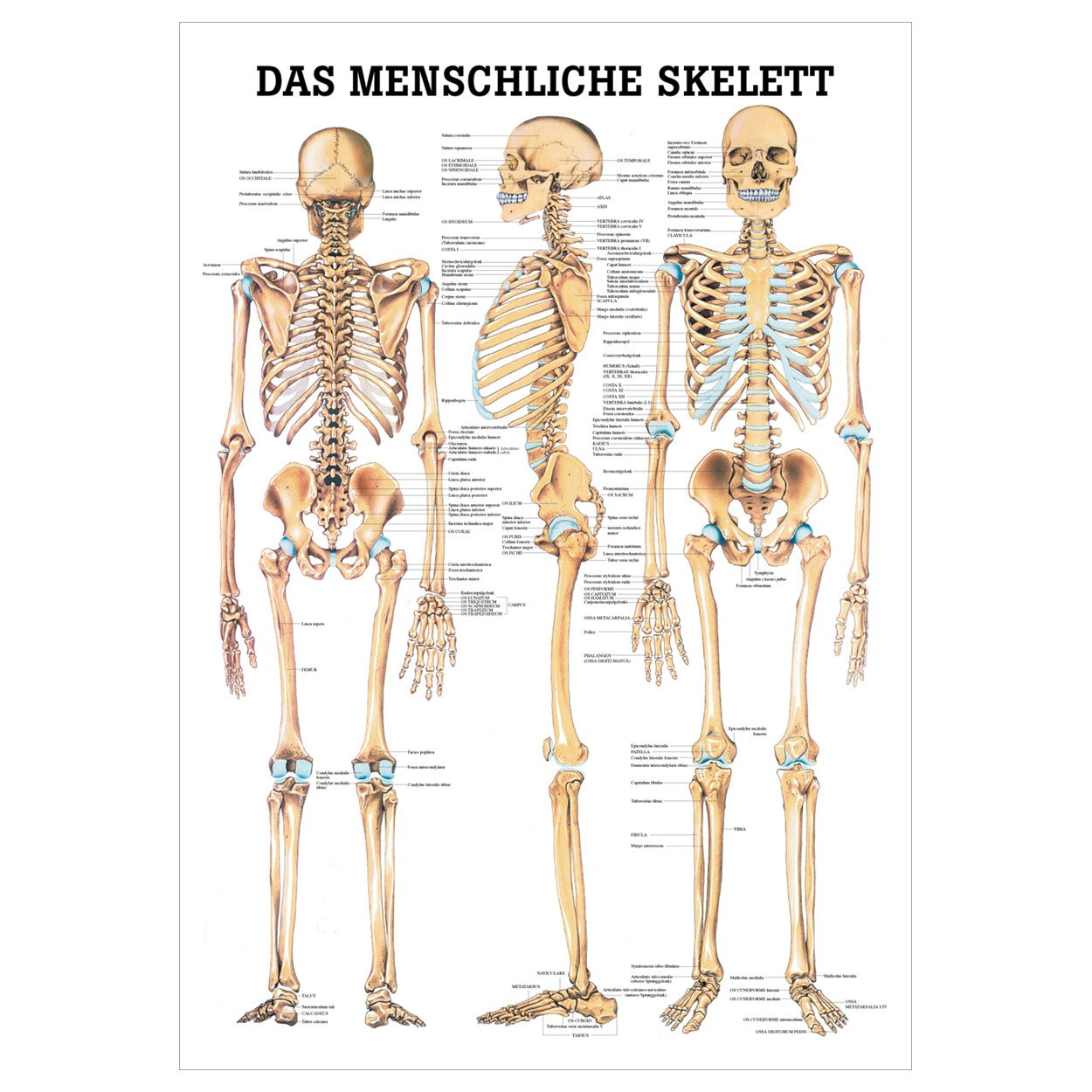 Schön Menschliches Skelett Arbeitsblatt Bedruckbaren Fotos - Super ...