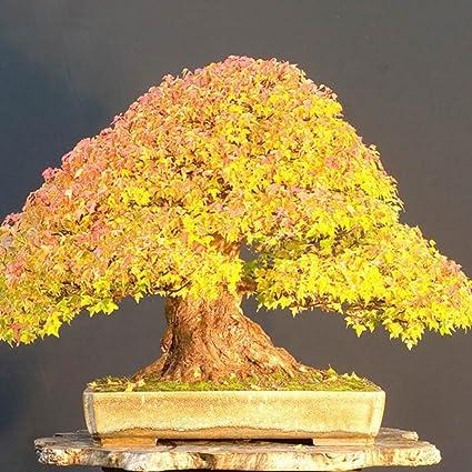 Adarl 20 pcs/Bag Rare Japan Maple Seed Bonsai Maple SeedsTree Seeds Balcony  Plants For Home Garden Gold