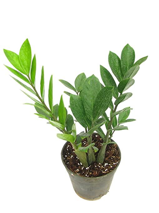 Zamia Calcus Plant (Included Plastic Pot): Amazon.in: Garden ... on zinnia house plant, olearia house plant, lantana house plant, amaranthus house plant, croton house plant, plumeria house plant, bamboo house plant, sansevieria house plant, aralia house plant, ficus house plant, magnolia house plant, iris house plant, camellia house plant, gardenia house plant, cyclamen house plant, alocasia house plant, sedum house plant, coleus house plant, ardisia house plant, acacia house plant,