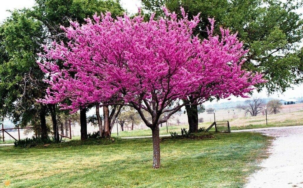 Amazon Com 1 Eastern Redbud Tree Cercis Canadensis 2 To 3 Feet