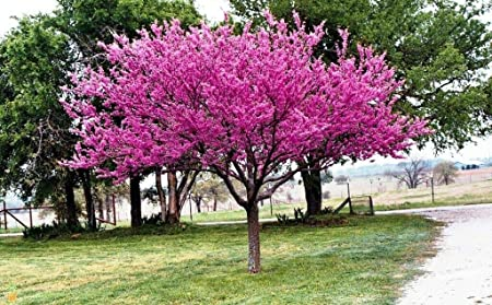 Amazon Com 1 Eastern Redbud Tree Cercis Canadensis 2 To 3 Feet