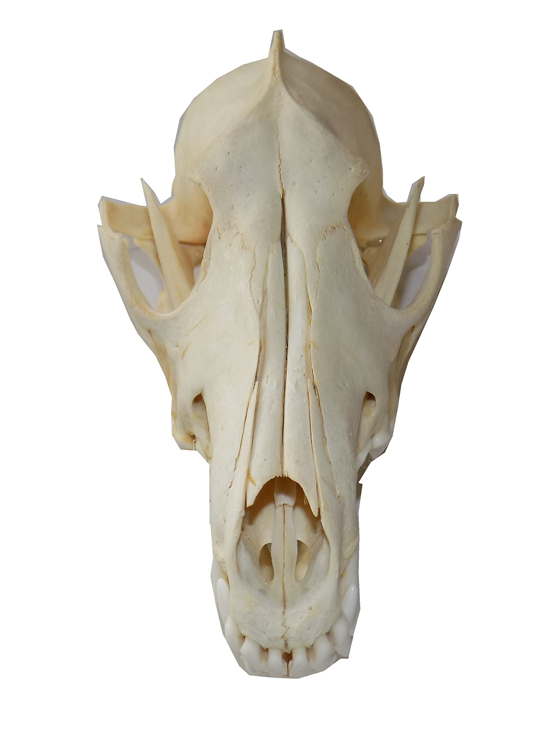 Real Coyote Skull (Cleaned and Assembled Adult American Coyote Skull) by LoneAlaskanGypsy (Image #2)
