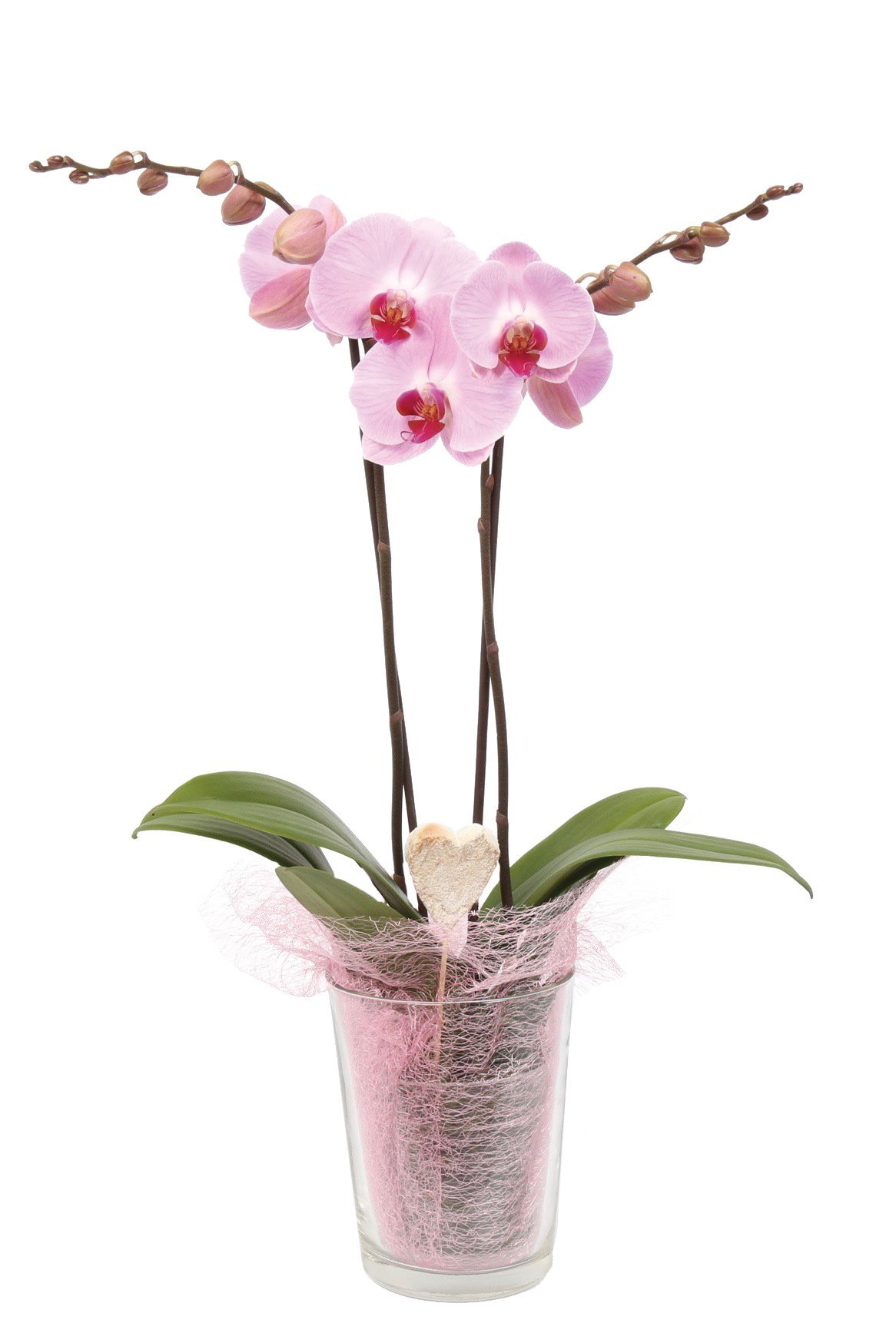 Color Orchids Live Holiday Double Stem phalaenopsis Orchid Plant in Glass Pot, 20''-24'' Tall, Pink Valentines with Heart Pick