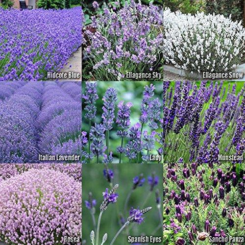 (10 Type) Lavender Flower/Herb Seeds - Lavandula Mix - Hidcote, Ellagance Sky, Ellagance Snow, Lady, Munstead, Rosea, Spanish Eyes, Sancho Panza, Italian, Vera Seeds - by MySeeds.Co (1 Set) by MySeeds.Co