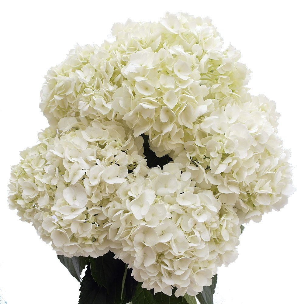 Amazon.com : GlobalRose 10 Fresh Cut White Hydrangeas - Fresh ...