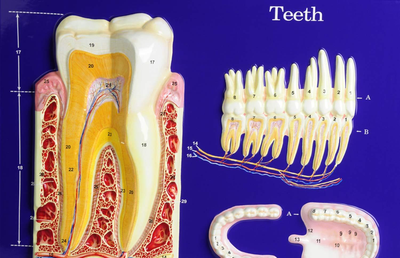American Educational Teeth Model Activity Set by American Educational Products (Image #4)