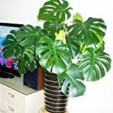 Glamaours 30Pcs Swiss Cheese Plant, Monstera Deliciosa Bonsai Indoor Plant Seeds for Home Garden Balcony Decor