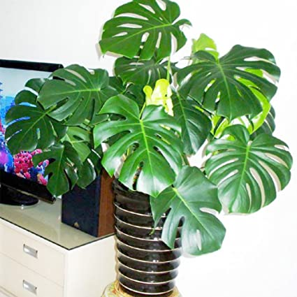 Amazon com : 30Pcs Swiss Cheese Plant, Monstera Deliciosa Bonsai