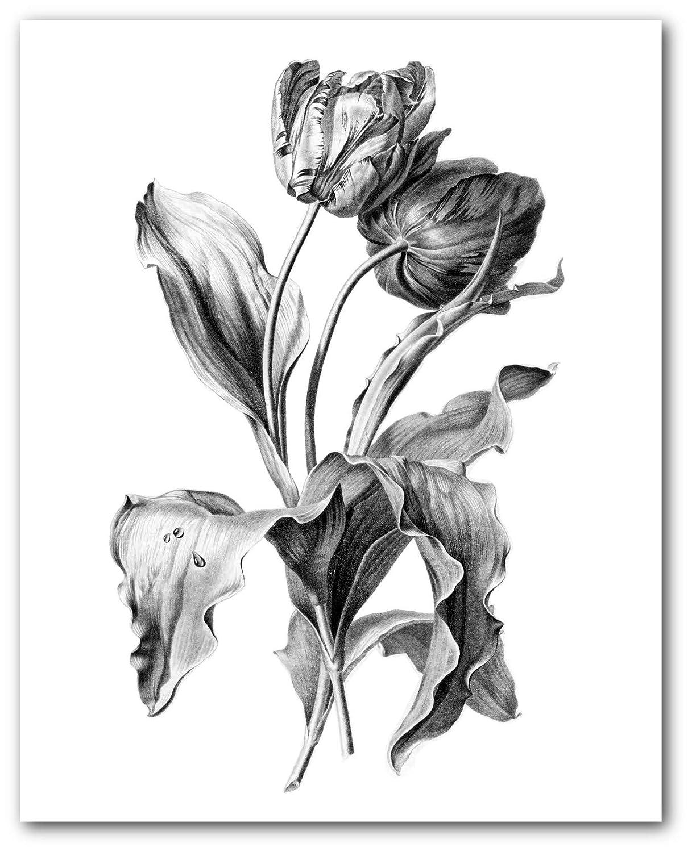 Amazon Com Tulip Print Black And White Flower Drawing 8 X 10