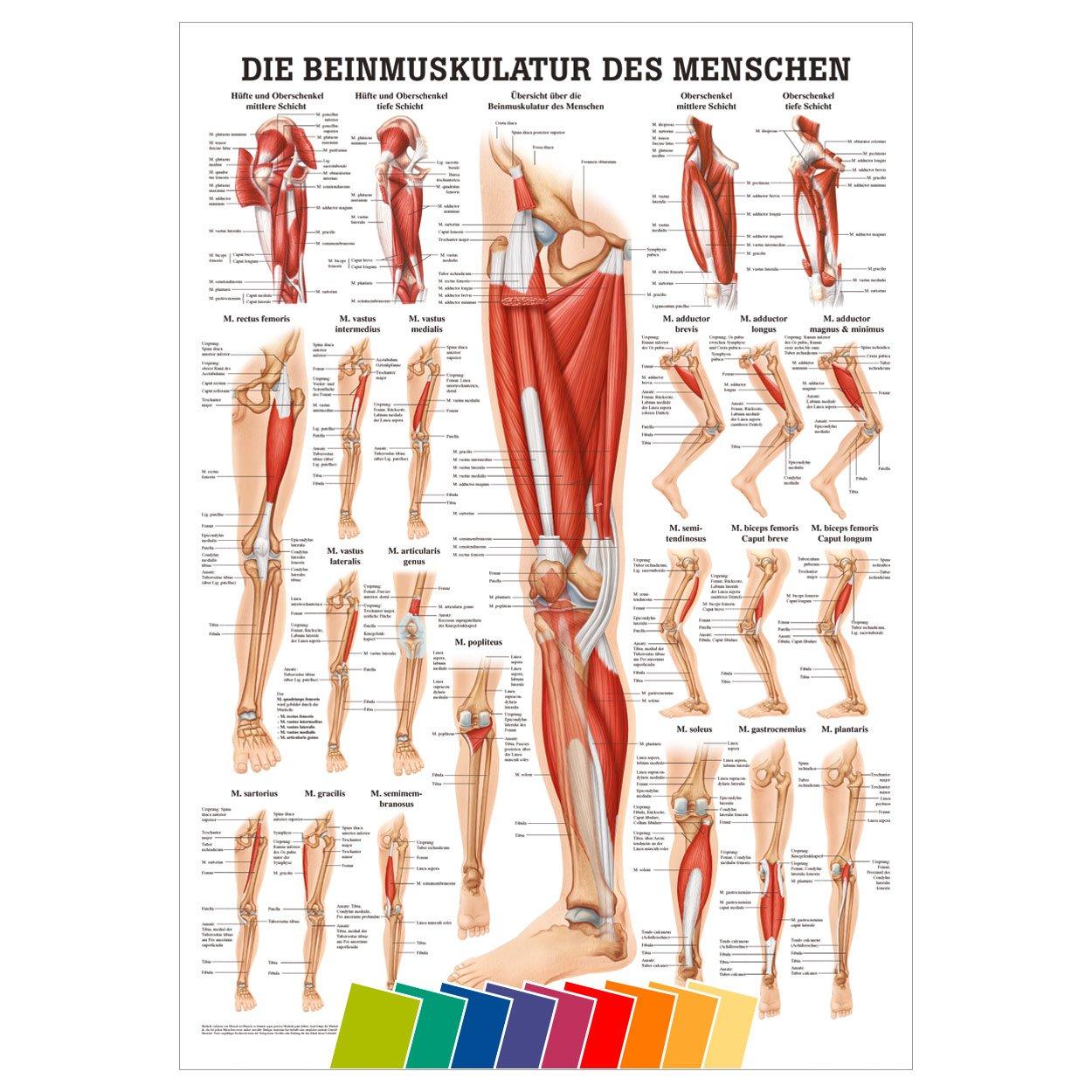 Beste Bizeps Anatomie Fotos - Physiologie Von Menschlichen ...