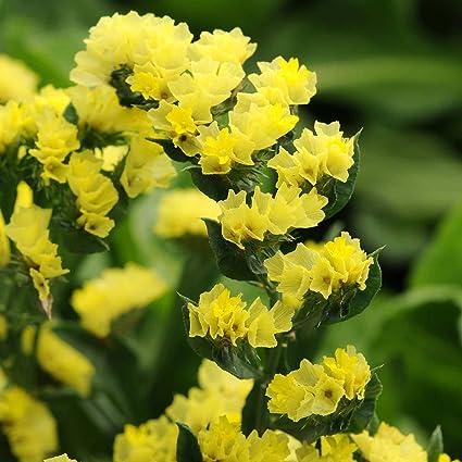 Amazon statice flower garden seeds qis series yellow statice flower garden seeds qis series yellow 1000 seeds annual flower gardening mightylinksfo