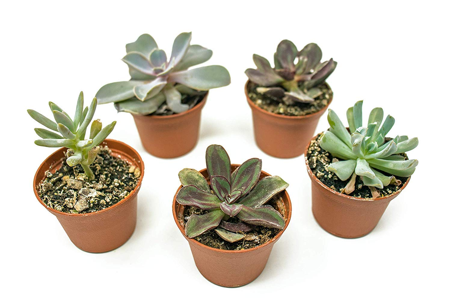 20 Live ''B-Grade'' Succulents | House Plants with Minor Flaws | Healthy Discounted Cheap Succulent Plants in Planter Pots with Soil by Plants for Pets by Plants for Pets (Image #6)