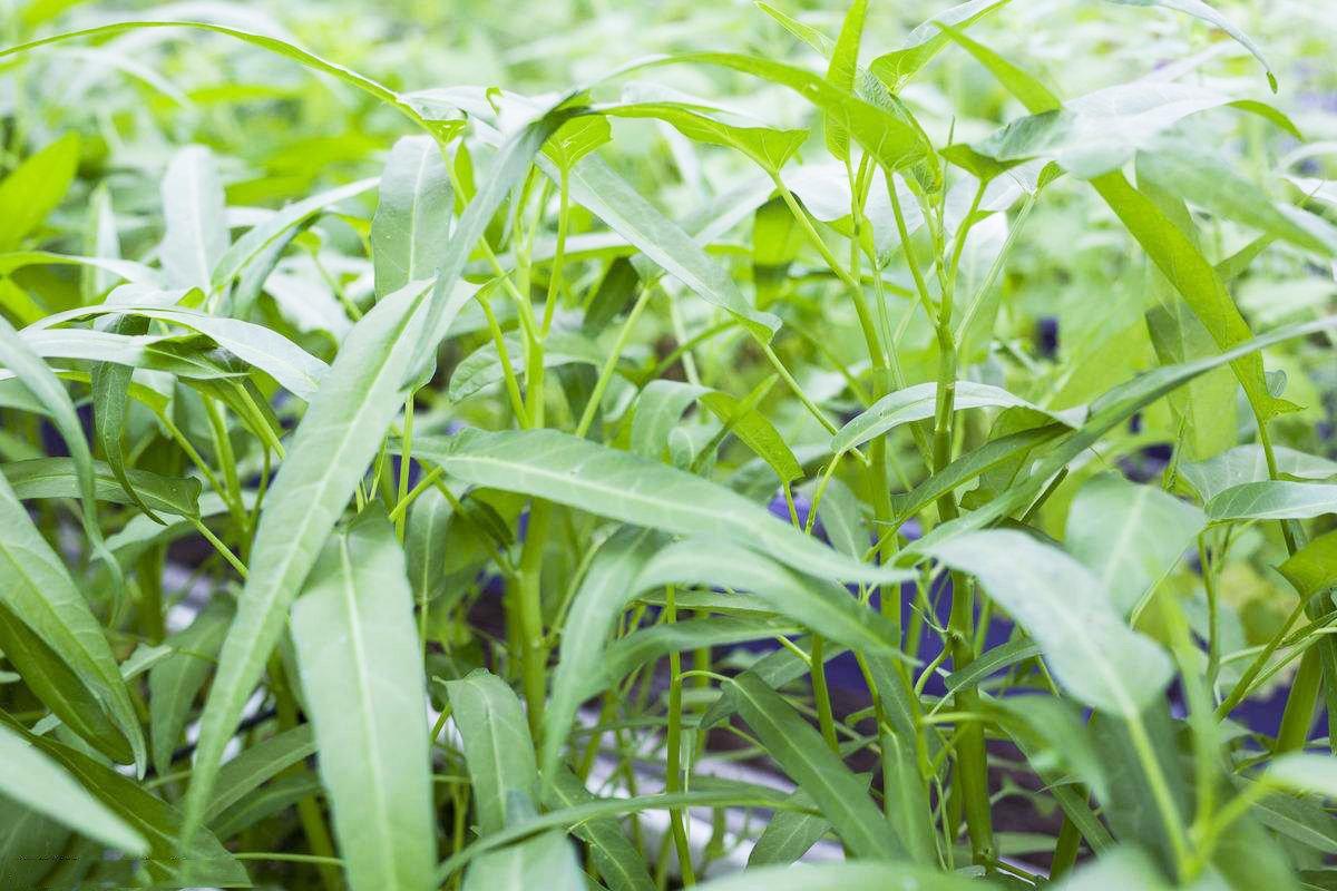 Amazon.com: Aquatica - Semillas orgánicas verdes de verduras ...