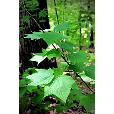 10 Patterned Acer pensylvanicum Striped Maple Tree Seeds : Garden & Outdoor