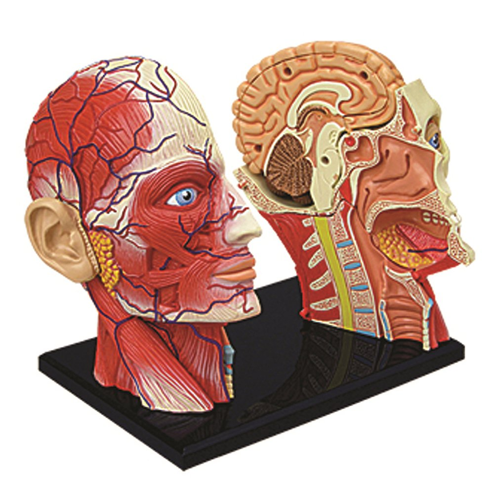 Amazon 4d Vision Human Head Anatomy Model Toys Games