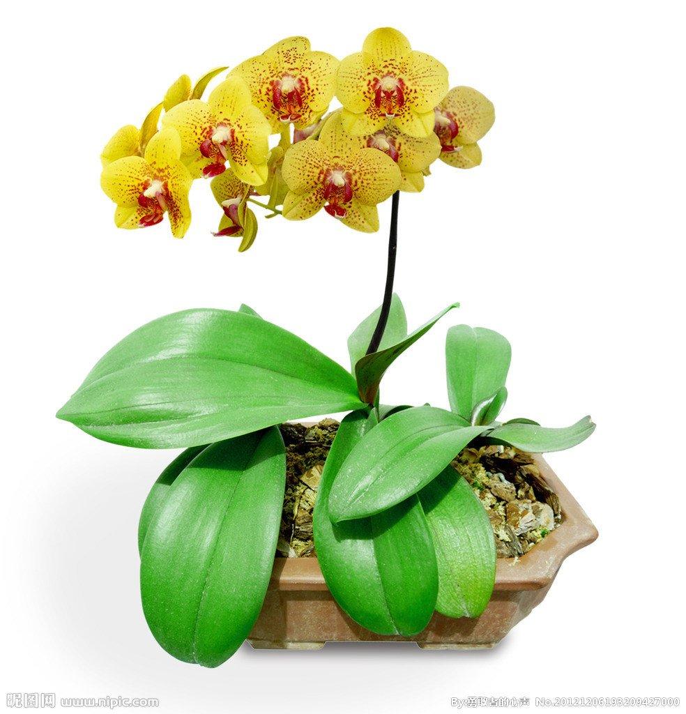 Heiße verkaufen20pcs Bonsai Balkon-Blumen-Schmetterlings-Orchidee Phalaenopsis Samen Multi Farben