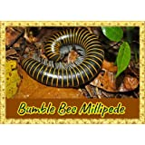 LIVE Bumble Bee Millipede (Anadenobolus monilicornis) Educational & Fun Easy to Keep