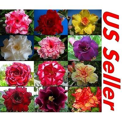 10 PC Desert Rose Seeds Mixed Colors B99 : Garden & Outdoor