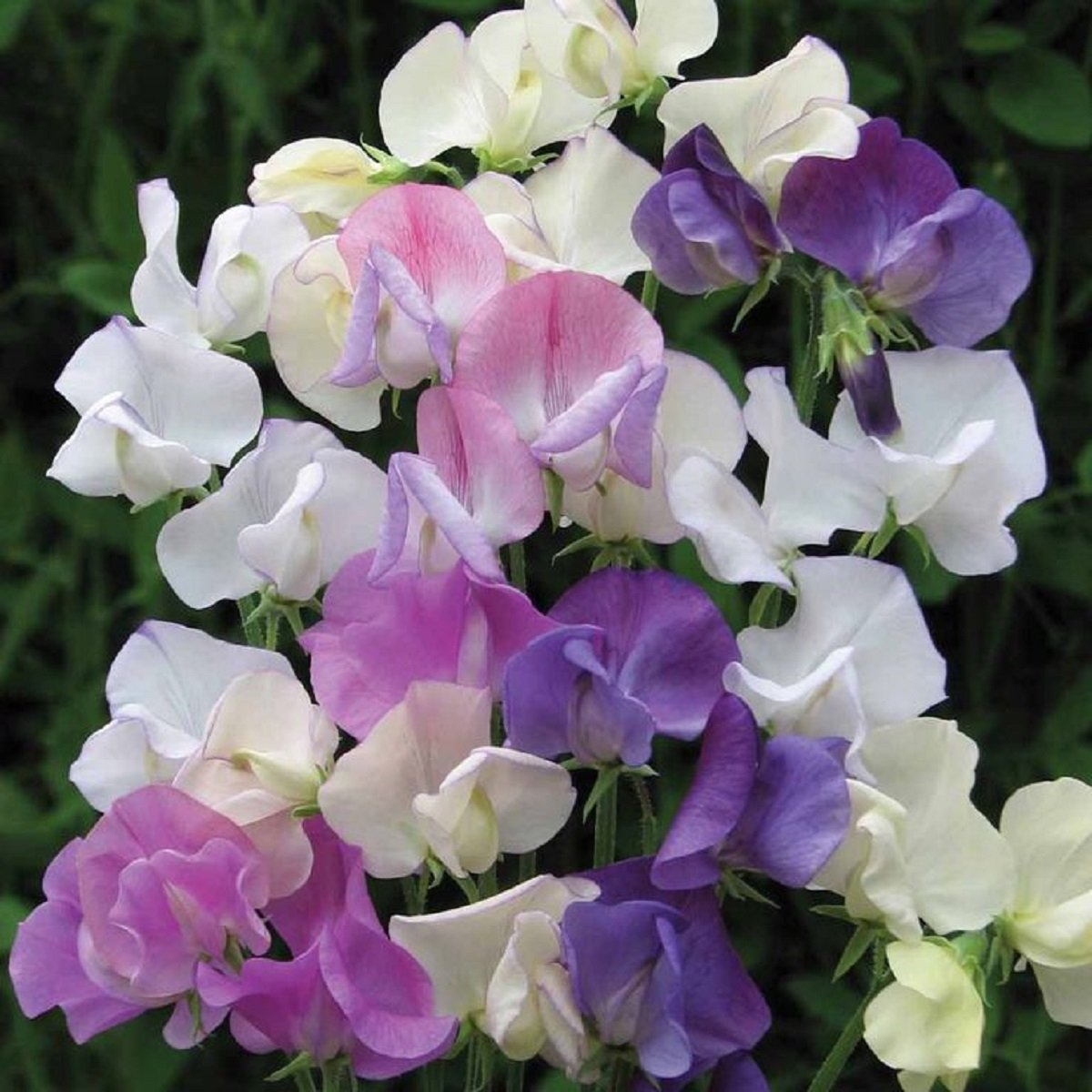 FREE S/&H IN USA FOR CANDLE /& SOAP MAKING BY VIRGINIA CANDLE SUPPLY SWEET PEA VERBENA FRAGRANCE OIL 8 OZ