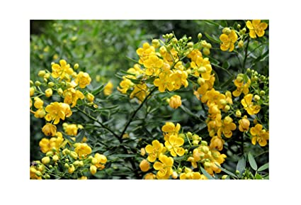 Amazon cassia tora 20 seeds sickle pod wild sensitive plant cassia tora 20 seeds sickle pod wild sensitive plant seeds small evergreen bright yellow flowers easy mightylinksfo