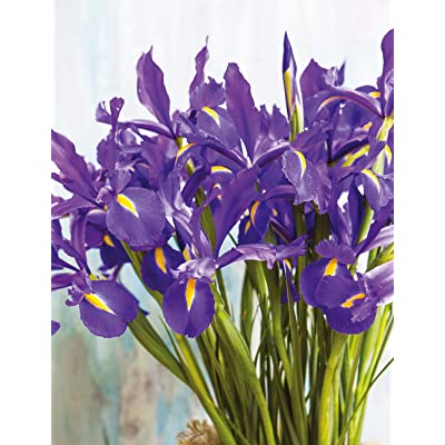 Grandiosy Dutch Iris (Bulbs), Deer Resistant, Great for Containers (Discovery, 10 Bulbs), Ready Product from Grandiosy Farmer : Garden & Outdoor