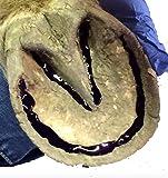 SBS EQUINE Thrush Medication, Large, Dark Blue
