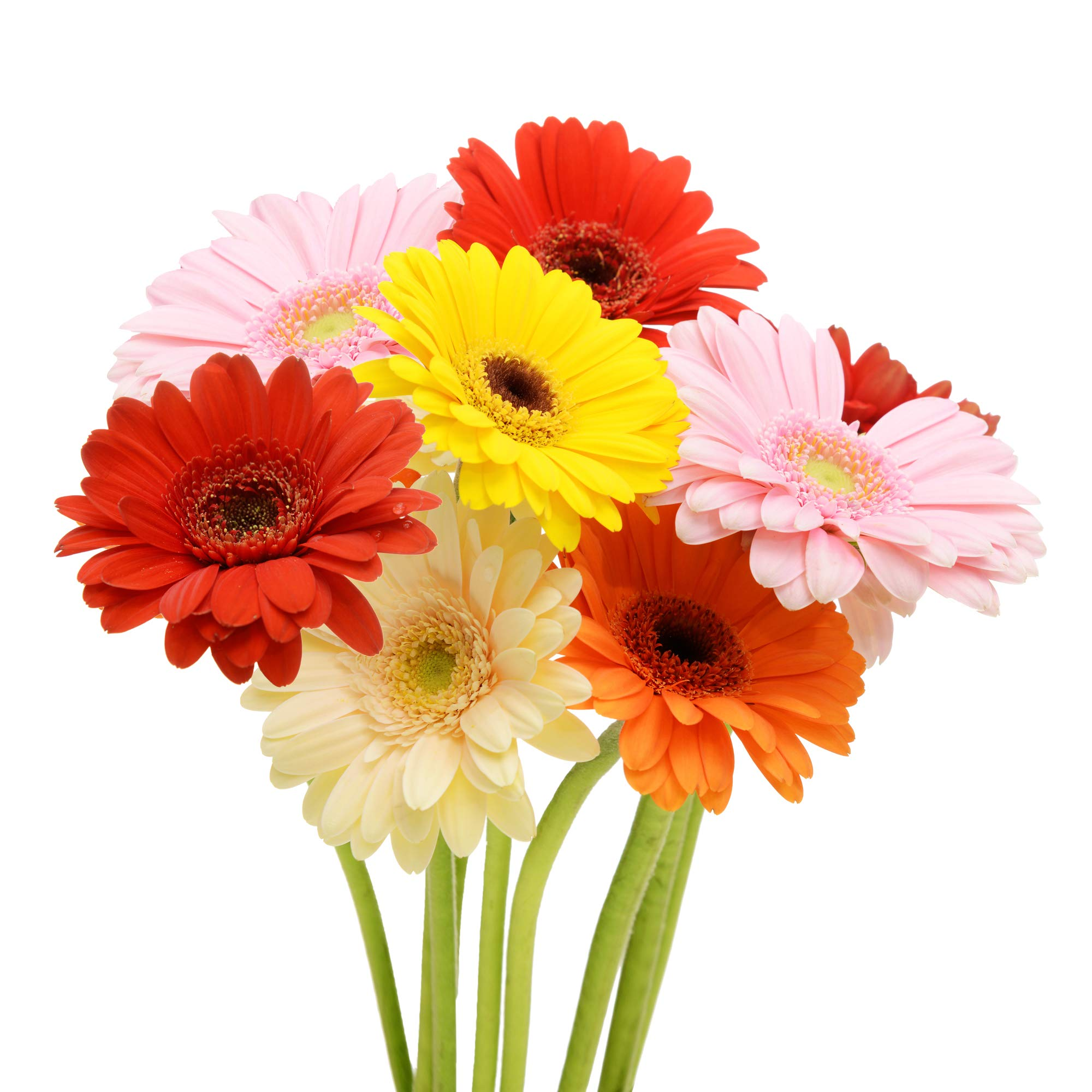 Assorted Gerberas - 50 Stems by Bloomingmore