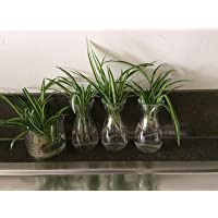 Two Rooted Baby Spider Plants Non Toxic Reptile and pet Friendly