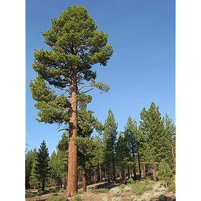 1 oz Seeds (Approx 250 Seeds) of Pinus jeffreyi, Jeffrey Pine, P. Ponderosa VAR. jeffreyi : Garden & Outdoor