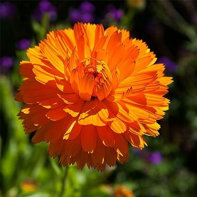 Outsidepride Calendula Officinalis Orange King Flower Seed - 1000 Seeds: Garden & Outdoor