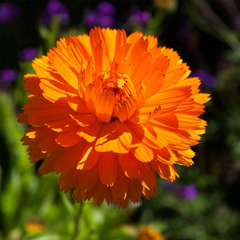 CALENDULA PINK SUPRISE SEEDS EDIBLE LARGE FLOWERS HARDY GARDEN POT 25 SEED PACK