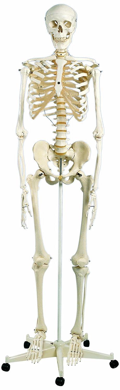 3B Scientific A10 Standard-Skelett Stan, auf 5-Fuß-Rollenstativ aus ...