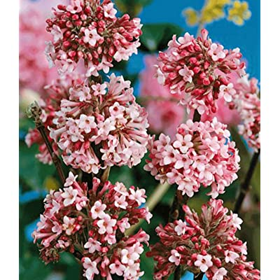 Earth Seeds Co 10 Pcs Viburnum bodnantense Plant Flower Seeds Long Flowering Period, Strongly Scented Rare Seeds Perennial Ideal for beds and Borders, Patio pots and containers : Garden & Outdoor