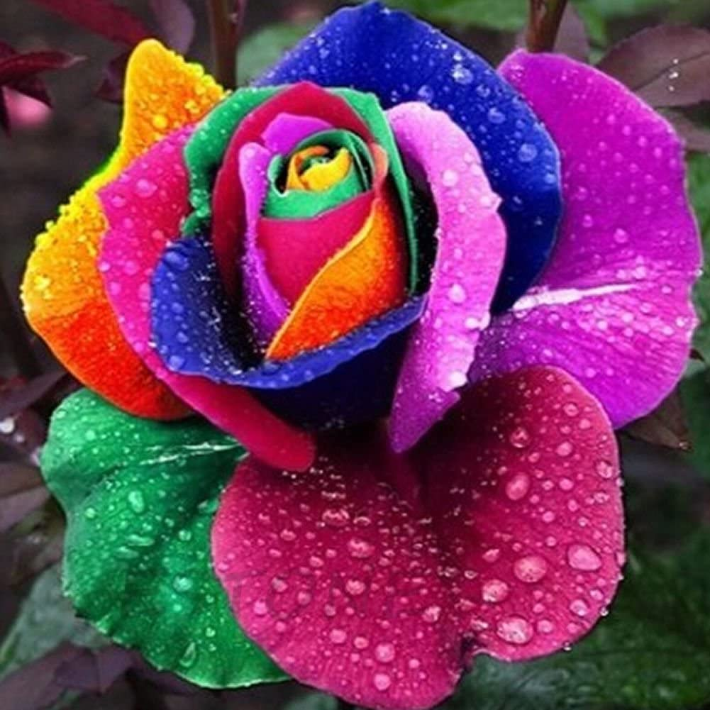 Poity Colorful Rainbow Rose Flower Seeds Petal Plants Home Garden Yard Decor 200 Pieces