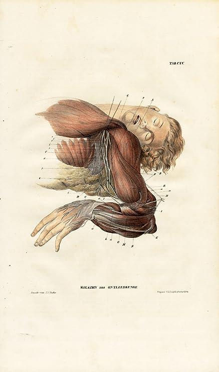 Amazon.com: Antique Anatomy Print-NEUROLOGY-NERVE PLEXUS-ARMPIT ...